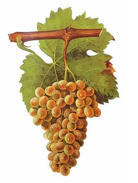Picpoul Blanc Grape Cluster