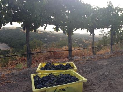Paix sur Terre grapes