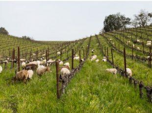 Tablas Creek vineyard workers